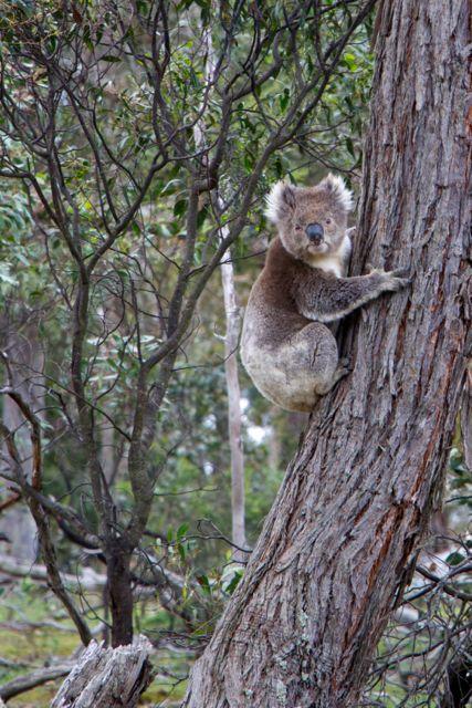 Wild Koala 1